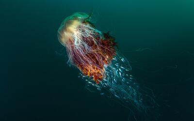 'Autostopistas', medusas melena de león. Fotografía tomada...