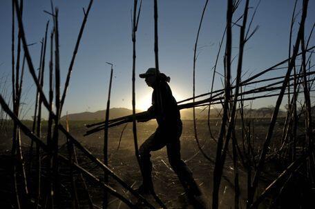 Los principales productores de caña de azúcar son Brasil, India, China,...
