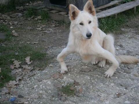 Ella es Sandy, una pastor alemán que fue abandonada en Grecia por...