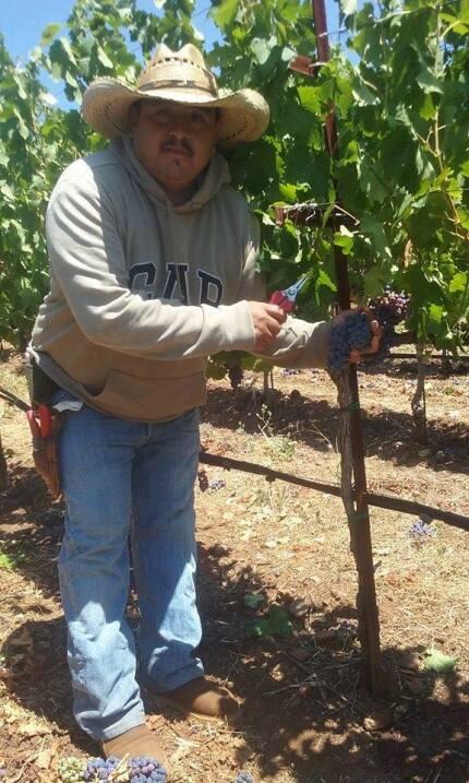 Luis 'desahijando' uva para vino en Napa Valley, donde se regist...