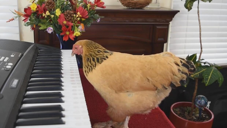 El videíto: ¿Alguna vez has visto a una gallina tocar piano?