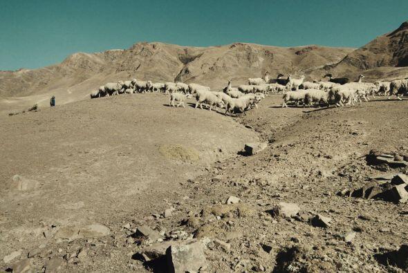 El área para pastar llamas y ovejas se reduce cada año.