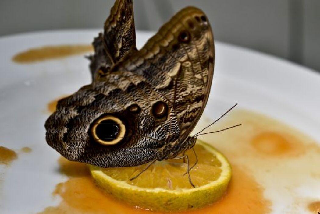 A esta mariposa búho le gusta el sabor cítrico en el zoológico de México.