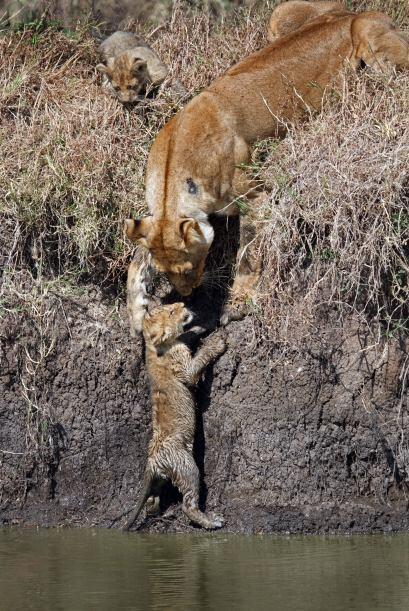Una escena muy tierna de una leona que ayuda a sus dos cachorros a atrav...