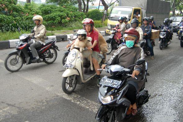 Con sólo su dueño o en grupo, ellos disfrutan de andar por las calles.