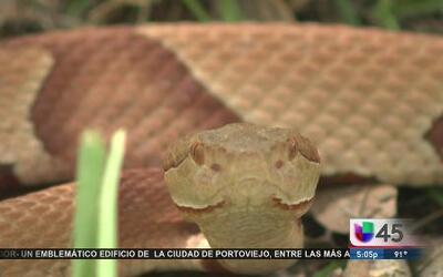 Protégete de las serpientes cabeza de cobre en la región
