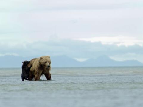 Un cachorro de oso grizzli se moría por acompañar a su mad...
