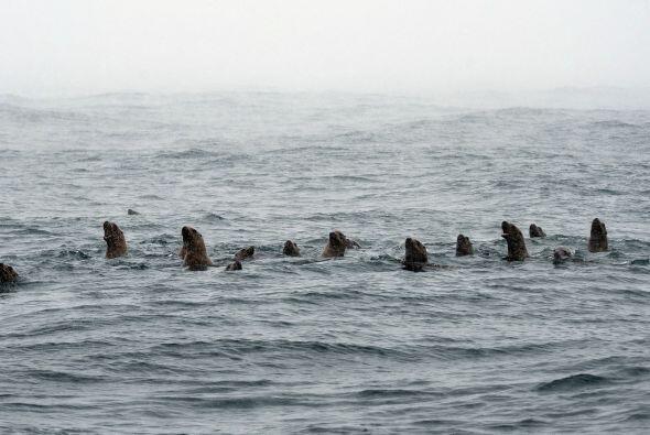 ¡Pero esa temperatura era apenas un cosquilleo para los leones mar...