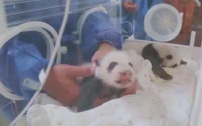 En video: conoce a los pandas mellizos del zoológico de Shangai