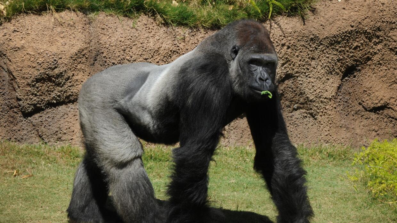 Gorila en el Zoo de Los Ángeles