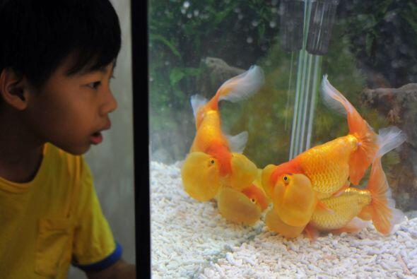 Este pequeño mira sorprendido a un pez burbuja en Expo Taipei.