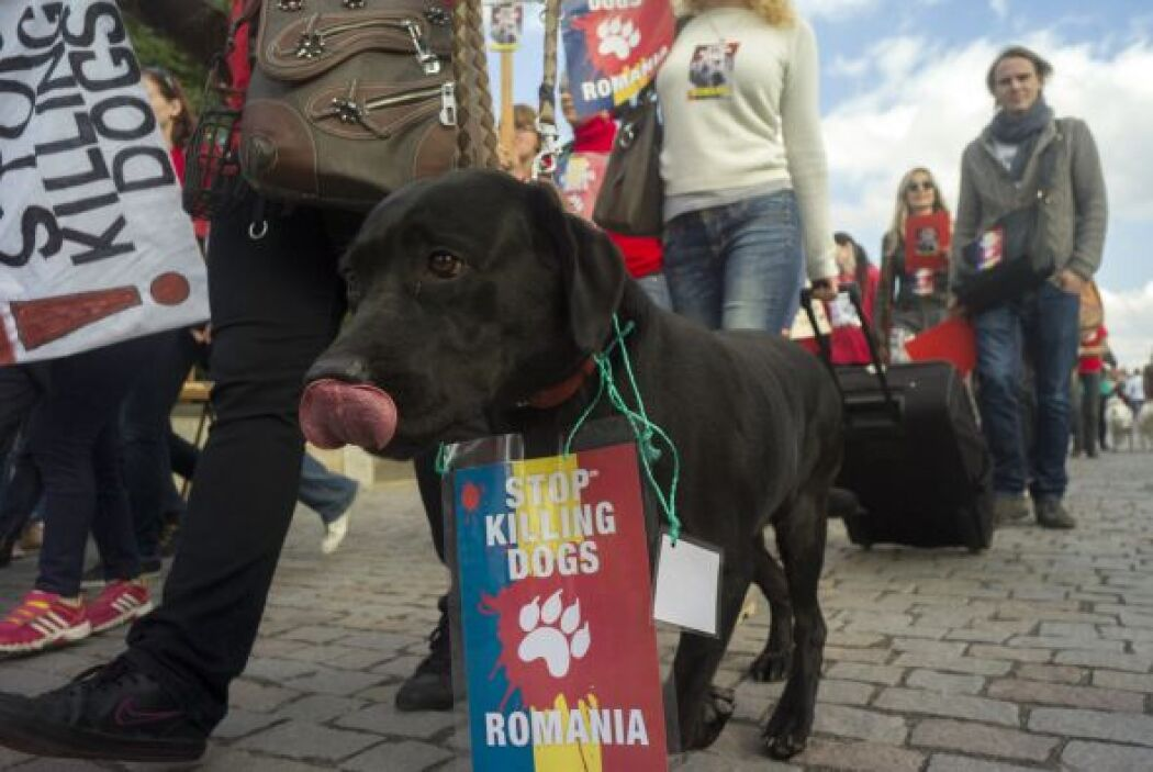 Un animal en Bulgaria también participa en las protestas en contra de la...