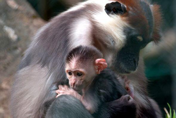 La cría de mono mangabey, aún sin nombre, fue fotografiada...