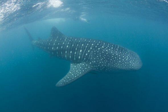 Los tiburones  ballena habitan  en  las  aguas  cálidas  de  los  océano...