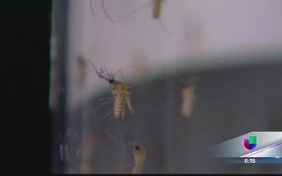 ¿Es seguro el larvicida BTI contra el zika?