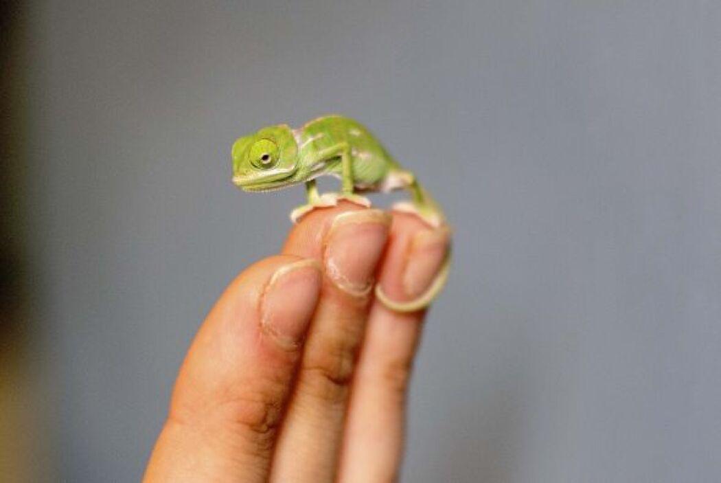 Bebés camaleones sorprendieron al nacer en un zoológico de Sydney, Austr...