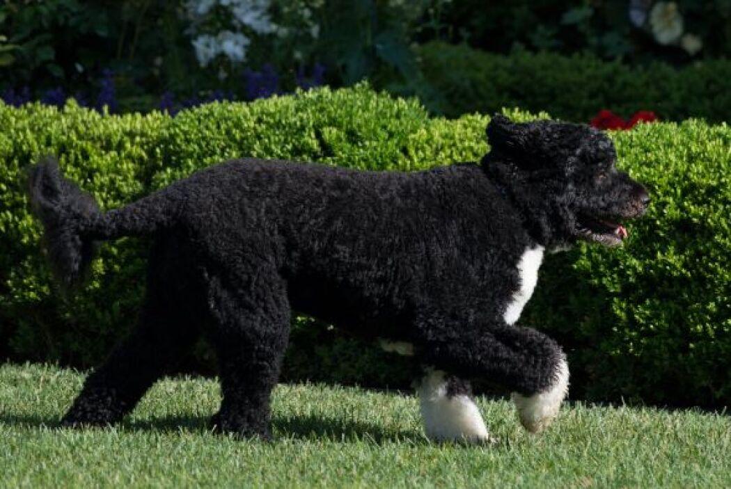 El perro de agua portugués no muda de pelo, por eso necesita un cepillad...