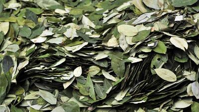 En México hallan un sembradío de hojas de coca