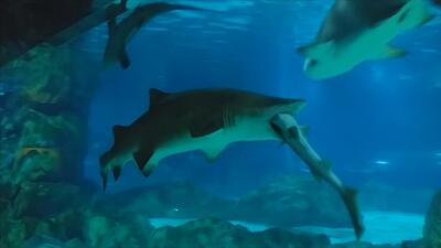 Increíble video capta el momento en que un tiburón se come a otro en un...