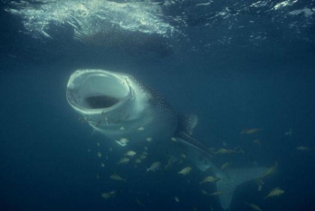 Su enorme boca alcanza un metro y medio de ancho. Su mecanismo de alimen...