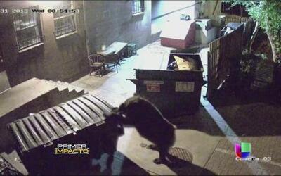 Osos traviesos fueron captados en video tomando comida ajena