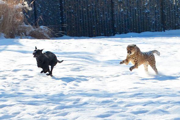 ¡No es un perro que huye despavorido de un guepardo hambriento! Se...