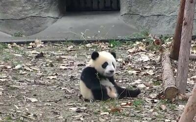 A este panda le quitan sus juguetes, pero encuentra una forma divertida...