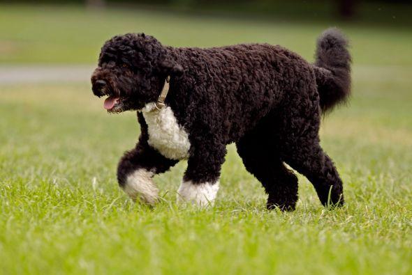 Por eso, el perro de agua portugués es es compañero perfecto en la famil...