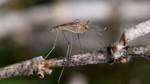 Autoridades detectaron una alta concentración del mosquito portad...