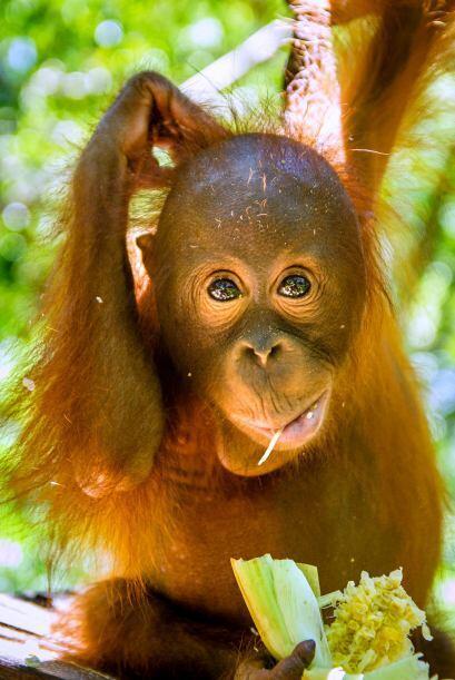 Según el equipo del centro escolar para orangutanes, dirigido por...
