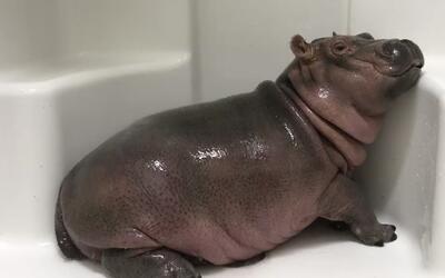 Fiona, la adorable hipopótamo prematura, sigue haciendo de las suyas en...