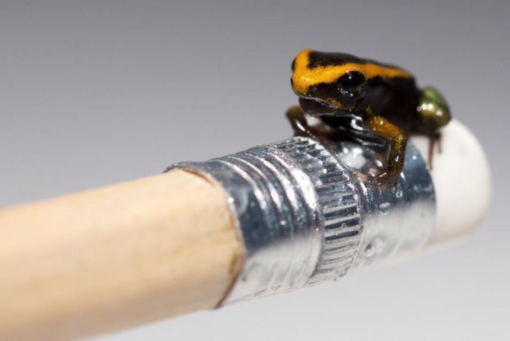 Una rana dardo venenosa bebé en el extremo de un lápiz en el Acuario de...