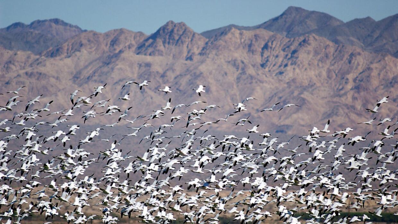 Gansos blancos sobrevuelan un lago en California en su migración anual d...