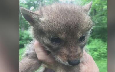 Buscan al responsable de matar seis crías de coyote y tirarlas en una cu...