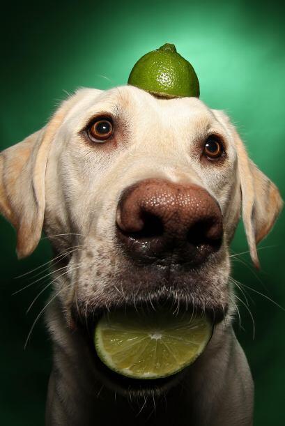 Este perro está aprendiendo a hacer limonada.