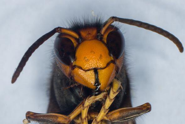 Para su tamaño, las abejas poseen un intelecto inmenso. Su cerebro, que...