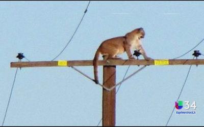 Puma ha causado sensación en California