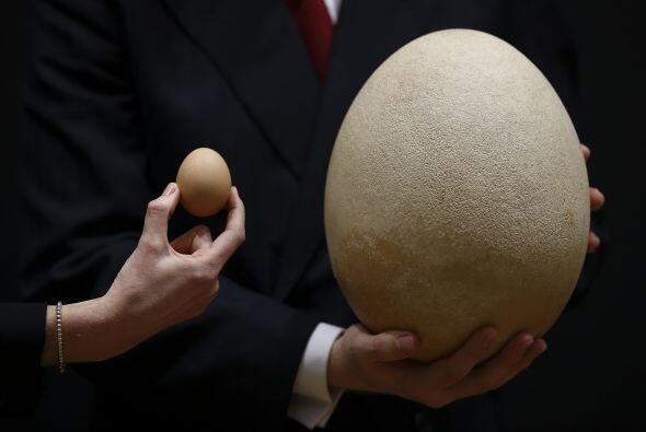 Este huevo es cien veces más grande que un huevo de gallina.