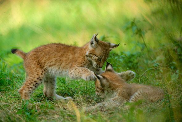 Esta especie tiene  costumbres nocturnas y solitarias, normalmente se es...