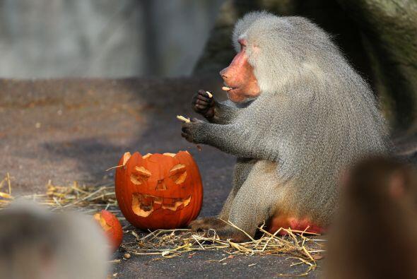 En los Zoológicos, los animales disfratron de una dulce golosina de Hall...