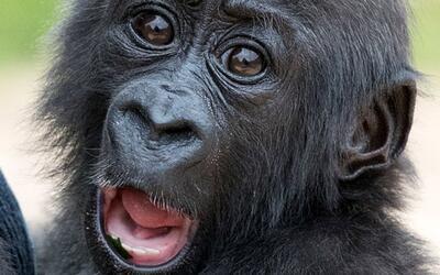 Los chimpancés tendrían la capacidad vocal para hablar, pe...