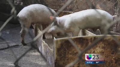 Cierran operaciones de matadero ilegal en Miami