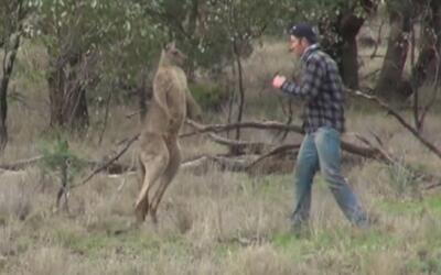 Como en un ring de boxeo, un hombre se enfrentó a un canguro para salvar...