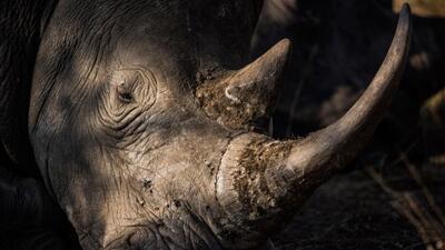 Muere un rinoceronte blanco del norte, especie en peligro crítico de ext...