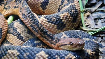 Es la culebra que abunda en Texas tiene 65 subespecies. Se esconde en ca...