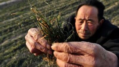 China, primer productor mundial de trigo, ha sido capaz de autoabastecer...