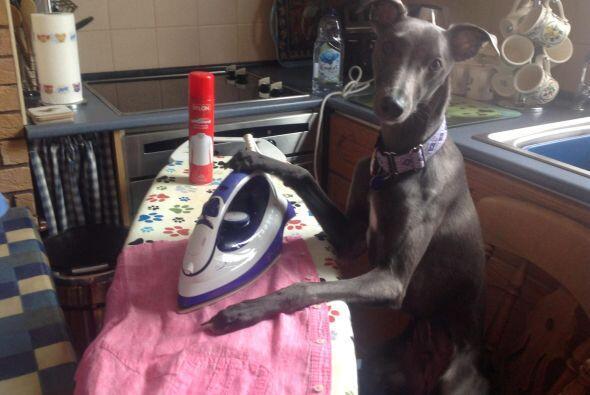 La ropa debe estar impecable y el canino se encarga de ello.