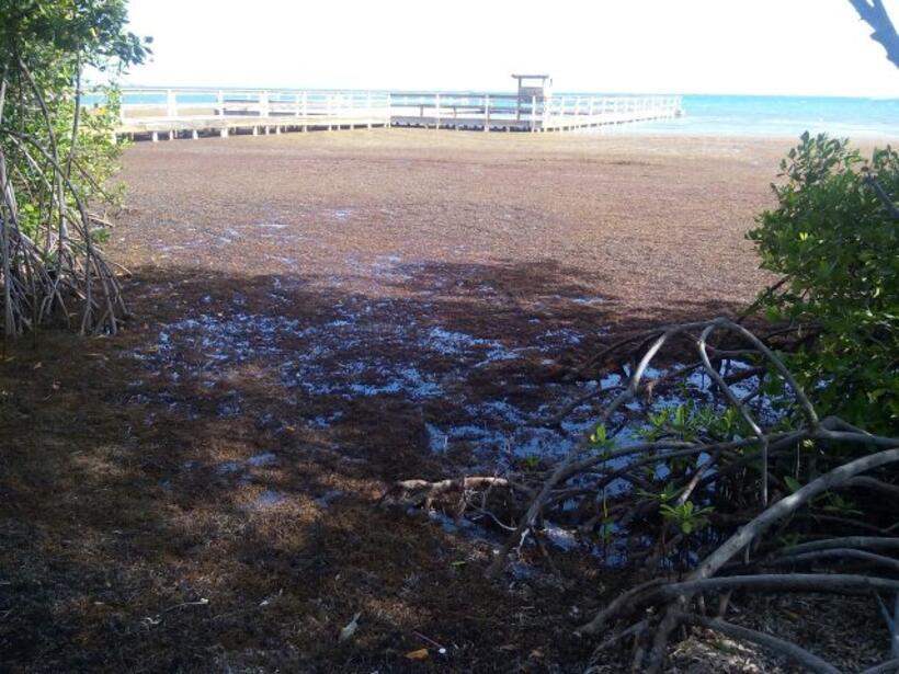 Las algas que recubren gran parte de las playas parecen una enorme alfom...
