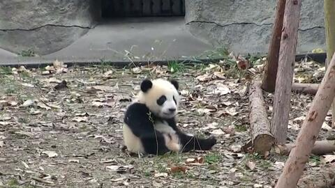 A este panda le quitan sus juguetes, pero encuentra una forma divertida...
