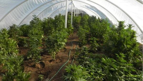 Plantación ilegal de marihuana en Riverside